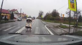 Video: Chú chó sang đường khiến người xem xấu hổ