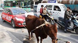 Dùng bò kéo 'xế' Citroen C4 xả bức xúc