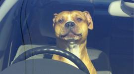 Chùm ảnh: Bật cười xem chó lái xe